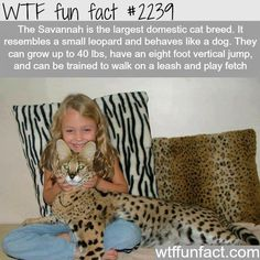 The savannah cat - WTF fun facts I want in, British wants a cat but I want a dog, best thing for us!