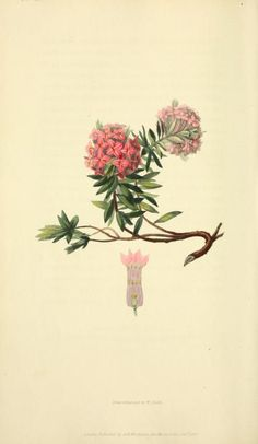 1826 - Flora conspicua : a selection of the most ornamental flowering, hardy, exotic and indigenous trees, shrubs, and herbaceous plants, for embellishing flower-gardens and pleasure-grounds / by Richard Morris ; drawn and engraved from living specimens by William Clark. : - Biodiversity Heritage Library