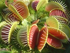 Adult Sized Venus Flytrap: The Greenest Insect Control