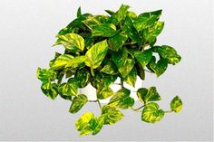 Devils Ivy-Golden Pothos_mini