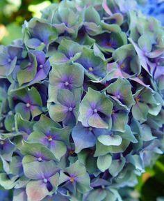 Hydrangea love this colour...