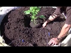 アウトドア 医療大麻の育て方 その4 トランスプラント @カリフォルニア メンダシノ - https://www.youtube.com/watch?v=1IeK_z4wyTc