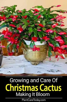 flower garden care The Christmas cactus blooming - No other plant seems to be equal it for its odd beauty or the number of questions from frustrated owners. Cacti And Succulents, Planting Succulents, Cactus Plants, Planting Flowers, Indoor Cactus, Cactus Art, Flowering Plants, Cactus Painting, Plants Indoor