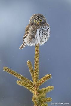 Northern Pygmy Owl. Magnificent or not? Photo by: Donald M. Jones Please…