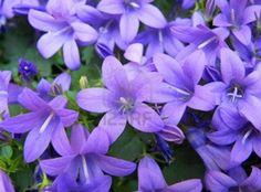#Violet #Purple #Spring #Flowers © Bluedarkat