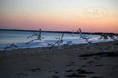 Old Orchard Beach, Maine Gulls