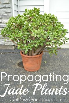 Jade plants are easy and fun to propagate. Soon you'll have tons of baby jade plants to add to your collection or to share with friends. They make a great gift! Here's how to propagate your jade plants! | GetBusyGardening.com