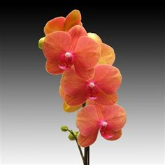 """Orchid flowers - Doritaenopsis Surf Song OX """"Gold Orange"""". Many growers tout phalaenopsis as the ideal beginner's orchid. Among the many choices is this hybrid"""