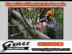 http://www.griggstree.com/tree-removal : To maintain the health of your trees and your landscape- trust the Indianapolis area landscaping specialists at Griggs Tree Service. We specialize in tree removal, stump grinding, disease control and landscaping, when you need tree services in Indianapolis, call 317-547-1886 and speak to one of our helpful arborists.  •         Indianapolis Tree Service •         Arborist Indianapolis