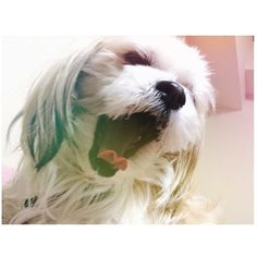 昨夜、編み物をして寝たら毛糸で首を絞められる夢をみました。 今夜は編み物をせずに寝ようと思いました。#おやすみなさい#gn#mosh#もっしゅ#モッシュ 🐕💟🙆 #犬#いぬ#いぬバカ部#いぬすたぐらむ#犬のいる暮らし#親バカ#親バカ部#マルチーズ#シーズー#mix犬#ミックス犬 #雑種#わんこ#わんわん#愛犬#dog#doglover#doglife#lovedog#maltese#shihtzu#dogstagram#instadog#dogdays#mydog