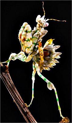 Es una especie de mantis de la familia Hymenopodida. Este fascinante insecto se puede encontrar en muchos países de África subsahariana. Son de color blanco con rayas naranjas y verdes, y los adultos tienen en sus alas un dibujo parecido a un ojo. En su conjunto esta mantis se asemeja a una colorida flor con espinas. Al igual que todas las mantis religiosas está considerada como una maravilla de la naturaleza