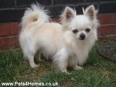 Longcoat Chihuahua.  If I was EVER going to have a dog, this would be a front-runner.  This guy or a Westie.
