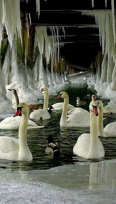 Swans under a frozen dock..
