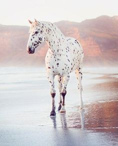 Gorgeous Appaloosa horse standing with his hoofs in the sea Cute Horses, Pretty Horses, Horse Love, Pretty Animals, Cute Baby Animals, Animals Beautiful, Dressage Horses, Appaloosa Horses, Leopard Appaloosa