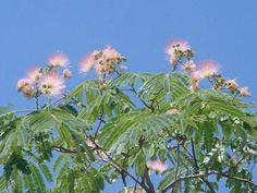 El bonito árbol de la seda