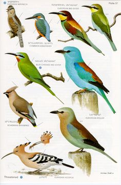 bird book illustrations - Google Search
