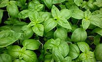 Basil has essential oils that can be extracted and used as a spray to repel mosquitoes. It is also a medium-low effective repellent when grown nearby. Basil is one of the few herbs that give off a scent without the leaves having to be crushed or physically disturbed. There are many varieties of basil, but the ones with the most mosquito-repelling powers include lemon basil and cinnamon basil.