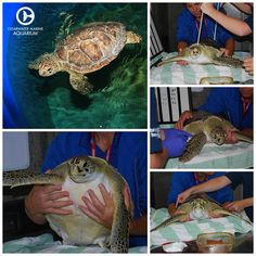 Snoop Dogg, one of our rehabbing turtles received his final check up and is officially approved for release! Say farewell to Snoop! Learn about Snoop Dogg's rescue and rehab @ http://www.seewinter.com/snoop-dogg