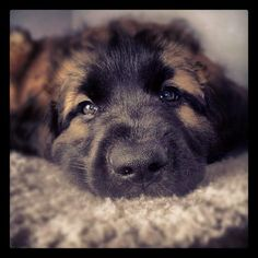 Zoe...puppy leonberger