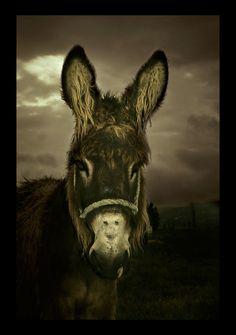 Donkey by Osox on DeviantArt