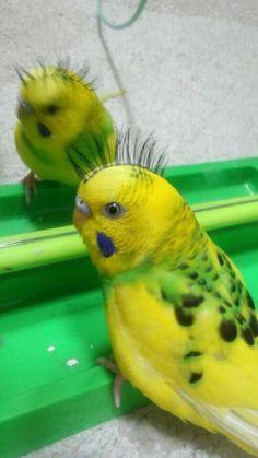 Punk the parakeet Funny Birds, Cute Birds, Pretty Birds, Beautiful Birds, Cute Baby Animals, Animals And Pets, Funny Animals, Funny Parrots, Crazy Bird