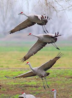 Triple-decked Sand Hill Cranes