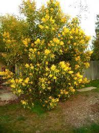 Image result for Acacia pycnantha