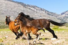 An estimated 28,000 wild horses roam free in the state of Nevada. | 10 Amazing Things You Never Knew About Nevada