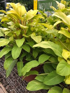 I fell in love with this Philodendron Lemon Lime but it was out of my price range. I also don't really have room for it. Indoor Garden, Garden Plants, Indoor Plants, House Plant Care, Interior Plants, Plant Species, Lemon Lime, Cool Plants, Tropical Plants