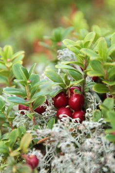 Lingonberry, Sweden