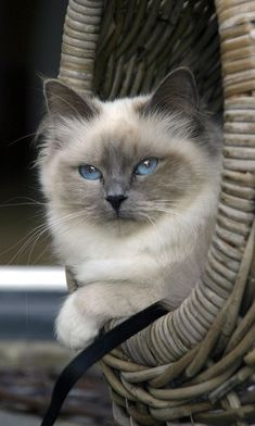 Grey Kitten -- Cute Kittens If you plan to foster, you need to know how to prepare your home for fo Cute Kittens, Pretty Cats, Beautiful Cats, Pretty Kitty, Gatos Ragdoll, Ragdoll Cats, Gatos Cats, Birman Cat, Himalayan Cat