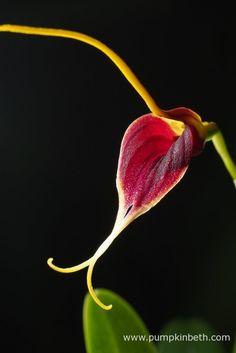 BiOrbAir Review - Growing Miniature Orchids in the BiOrbAir (part nine) - Pumpkin Beth