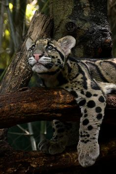 Clouded Leopard Cub Hanging on the Branch
