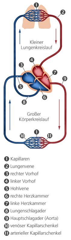 Kardiologie: Großer und kleiner Blutkreislauf