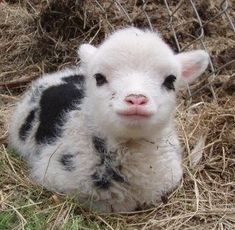 Baby miniature sheep