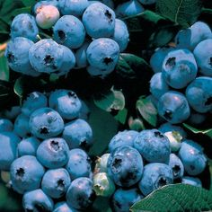 A charming dwarf Blueberry with great heat tolerance and big yields.