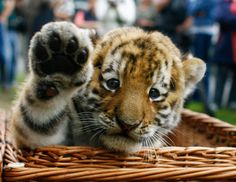 Who wants a pbj sandwich when you can have a tiger! I hope my next picnic basket comes with a big kitty.