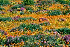 Namaqualand daisies
