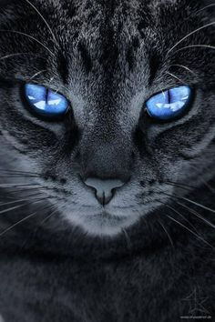 Blue eyes #cat #animals #pets #black