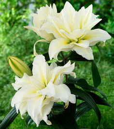 Roselily 'Carolina'  Plant height: 80cm; Bloom color: white/yellow; Hardiness zone: 4-9; Double flowering, up to 20 petals; Lightly fragrant; No pollen; Long vase life.