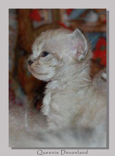 Питомник девон рексов DEVONLAND: Открыто резервирование котят девон рекс