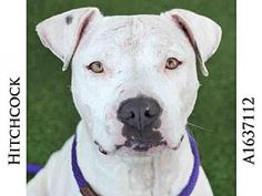 Los Angeles, CA - Pit Bull Terrier. Meet HITCHCOCK, a dog for adoption. http://www.adoptapet.com/pet/16053174-los-angeles-california-pit-bull-terrier