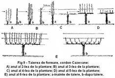 Tăierea viței de vie - ghid complet: tipuri și reguli la tăierile în vie Sheet Music, Garden, Life, Garten, Lawn And Garden, Gardens, Gardening, Outdoor, Music Sheets