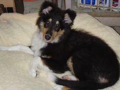 Indy as a puppy.  Nice bed.  She was so sweet.