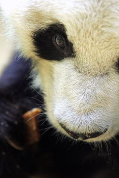 An archival photo of Bao Bao, a panda in the Berlin Zoo. Bao Bao, the world's oldest known male panda, died in the zoo at the age of on August after a period of declining health. Panda Love, Cute Panda, Beautiful Creatures, Animals Beautiful, Photo Panda, Save The Pandas, Animals And Pets, Cute Animals, Belle Photo