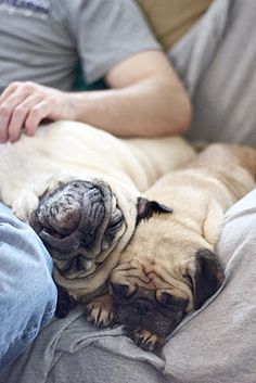 This is exactly what my 3 pugs are doing right now. Laying allover me and SNORING! Heaven :-))
