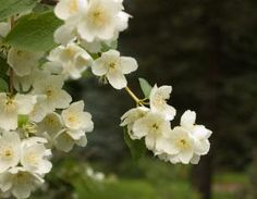 Mock orange | Mock orange shrub | Flowering bushes | Native shrubs | Hydrangea family