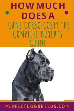 The Cane Corso is a high-maintenance puppy. Perfect Dog Breeds' guide offers valuable information that will prepare you about what this dog needs if you want a manageable canine. Its training will probably cost more than most other dogs. We also itemize other expenses that include its dietary needs as well as health concerns that will mean vet fees. If money is no object and you have open space for this energetic dog then you want to do your research so you know what to expect. Learn more. Large Dog Breeds, Large Dogs, Cane Corso Price, Most Popular Dog Breeds, High Maintenance, Dog Care, Dog Owners, Training, Puppies