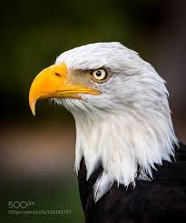 Bald eagle. Strong and powerful. Follow and check for more types of eagle on my website.
