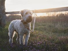 Dog & Photography (@wheatensoul) posted on Instagram • Apr 27, 2020 at 3:56pm UTC Wheaten Terrier, Dog Photography, Animals, Instagram, Pictures, Dog Accessories, Pet Dogs, Animales, Animaux